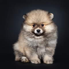 Cute baby Pomeranian puppy sitting facing front, looking straight ahead to camera with shiny black eyes. Isolated on black background.