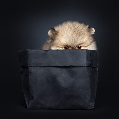 Cute baby Pomeranian puppy hiding in black paper bag, looking straight ahead to camera with shiny black eyes. Isolated on black background. Just showing eyes / peeping.