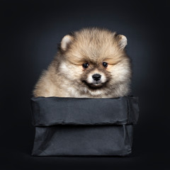 Cute baby Pomeranian puppy sitting facing front in black paper bag, looking straight ahead to camera with shiny black eyes. Isolated on black background.