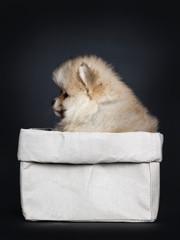 Cute baby Pomeranian puppy sitting side ways in grey paper bag, looking straight ahead / profile with shiny black eyes. Isolated on black background.