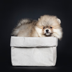 Cute baby Pomeranian puppy standing side ways in grey paper bag, looking over edge with shiny black eyes. Isolated on black background.