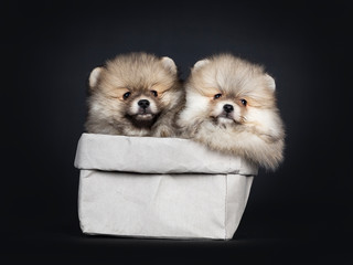 Set of cute baby Pomeranian puppy sitting side ways in grey paper bag, looking straight ahead to camera with shiny black eyes. Isolated on black background.