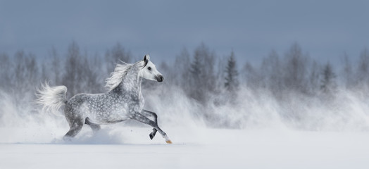 Wall Mural - Grey arabian horse galloping across snowy field.