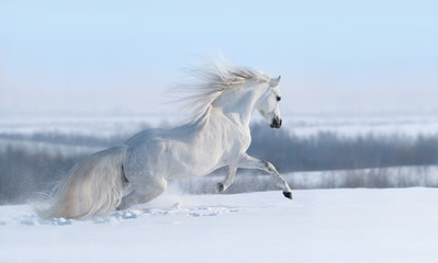Wall Mural - White horse with long mane galloping across winter meadow.