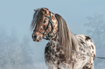 Fototapete - Portrait of Appaloosa miniature horse in winter landscape.
