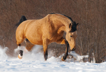 Fotoväggar - Dapple chestnut mustang trotting across winter snowy meadow.