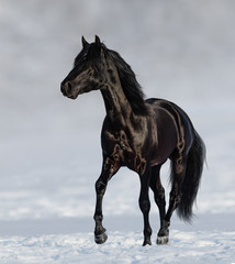 Fototapete - Black Andalusian horse trotting on snow meadow.
