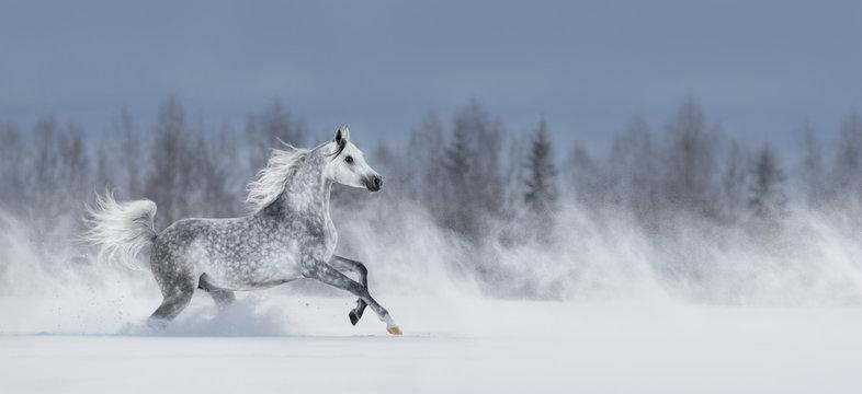 Grey arabian horse galloping across snowy field.