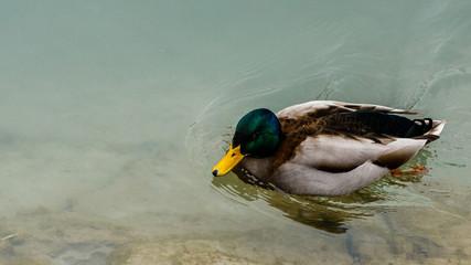 Duck in Maribor, Slovenia