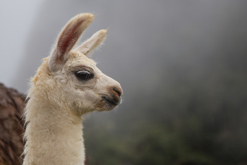 The lama of the Andes