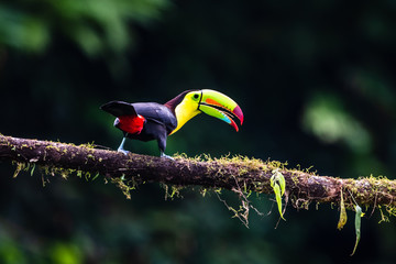 Keel-billed Toucan - Ramphastos sulfuratus, large colorful toucan from Costa Rica forest with very colored beak. Fotoväggar