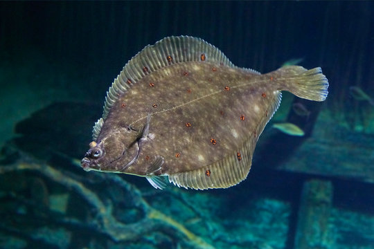Beautiful flounder on the seabed.