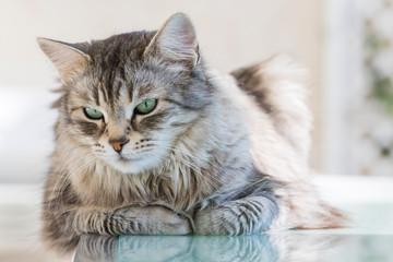 Beautiful kitten of livestock, siberian purebred cat with long hair. Cute domestic pet