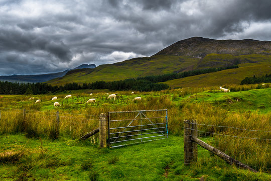Open Gate To Pasture With White Sheep In Scenic Landscape On The Isle Of Skye In Scotland