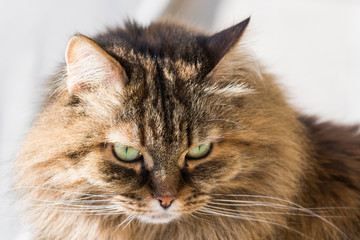 Adorable brown pet of livestock, siberian purebred cat with long hair. Cute domestic kitten