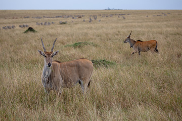 Photo sur Toile Antilope Eland on safari on Masai Mara, Kenya, Africa