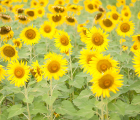 sunflower , field of sunflower it's look beautiful in the morning at bangkea thaoland