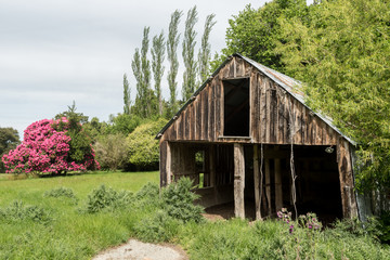Old, derelict, wooden farm barn in a field with trees and a large rhododendron covered in bright pink blossoms. Orari Gorge, Canterbury, New Zealand.