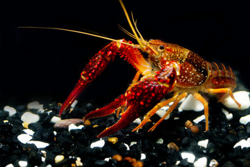 The Crayfish procambarus clarkii; ghost show power in the fishtank and black background.It's very strong procambarus in the water.