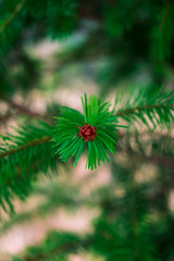 closeup of pine branch