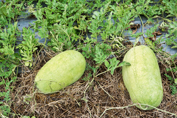 Close up of watermelon farming. Watermelon with leaves and vine at farm on ground background.