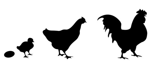Vector silhouettes of an egg, chick, chicken and rooster