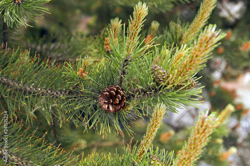 The blooming pine tree closeup, pollen, yellow,