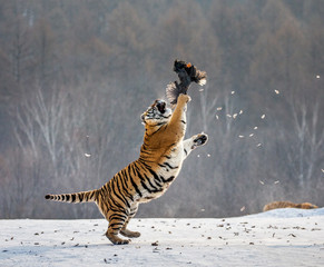 Fotobehang Tijger Siberian tiger in a jump catches its prey. Very dynamic shot. China. Harbin. Mudanjiang province. Hengdaohezi park. Siberian Tiger Park. Winter. Hard frost. (Panthera tgris altaica)