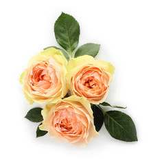 Beautiful roses on white background