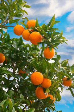 Fresh oranges growing on orange tree