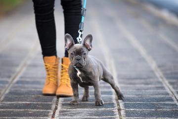 Tuinposter Franse bulldog French bulldog puppy on a sidewalk