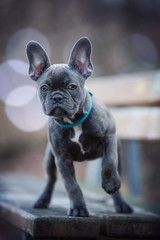 Foto auf Gartenposter Französisch bulldog French bulldog puppy on a bench
