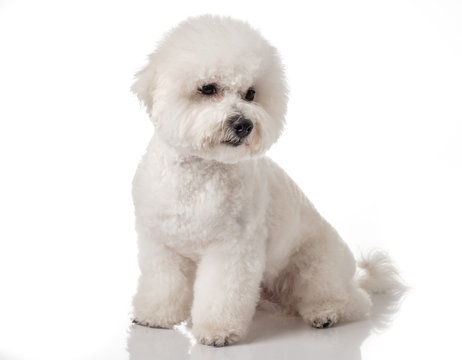 Bichon Frise puppy. Bichon is isolated on a white background. White dog. Bichon after grooming