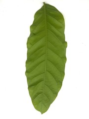 Green leaf isolated over white background use for materials in graphics design or interiors project