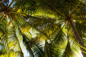 Bottom view of the branches of coconut trees and the sky Wall mural