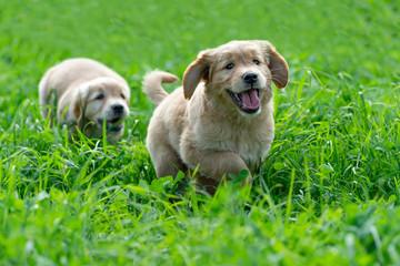 Little Golden Retriever puppies running through the green, long grass and having fun.
