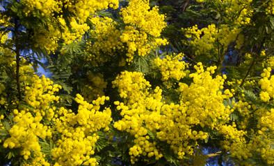 Spring blosom Mimosa flowers on blue sky