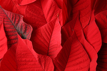 Wall Mural - Bright red tropical leaves as background