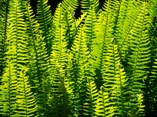 Beautiful close up green leaves fern garden in a spring season at a tropical botanical garden.