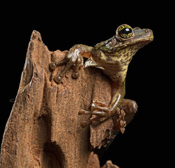 Tropical tree frog, Osteocephalus taurinus. A treefrog from the Amazon raon forest with beautiful colored eyes.