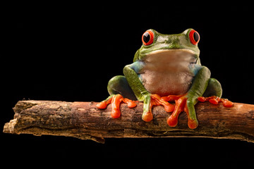 red eye tree frog on a twig in the tropical rain forest of central America