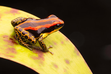 poison dart or arrow frog, Ranitomeya uakarii golden legs morph. A small Dendrobates from the Amazon rain forest in Peru. This animal lives in the tropical Amazon rain forest of Peru. .