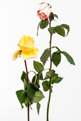 two dry roses on white background