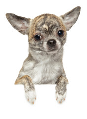 Cute Chihuahua puppy above banner