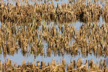 rice field image in the natural park of Albufera, Valencia, Spain.  Natural background texture