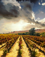 Vineyard landscape at Napa valley