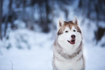 Portrait of beautiful and happy beige dog breed siberian husky sitting on the snow in the fairy winter forest