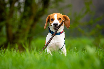 Dog Beagle running and jumping with stick through green grass field in a spring