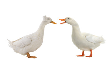 two duck isolated