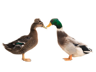 male brown duck and female duck isolated